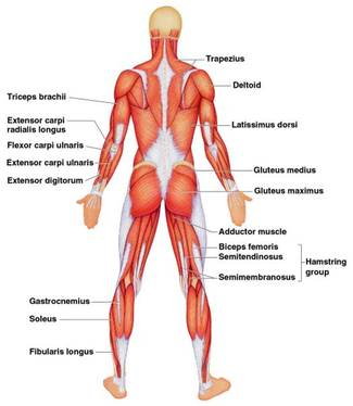 the muscular system - the musculoskeletal system, Muscles